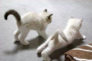 kitten-yoga